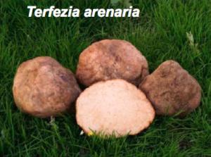 Trufa del desierto Terfezia Arenaria o criadillas de tierra